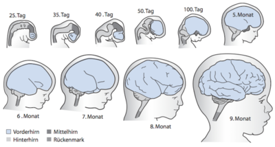 Wann ist das Gehirn voll ausgereift?